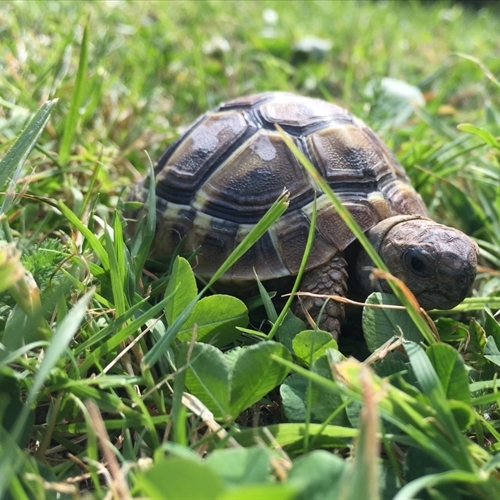 A calming presence: meet 'Pythag' the tortoise!