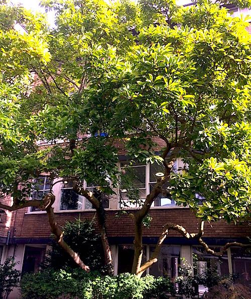 Our Magnolia Tree St Marys School Cambridge